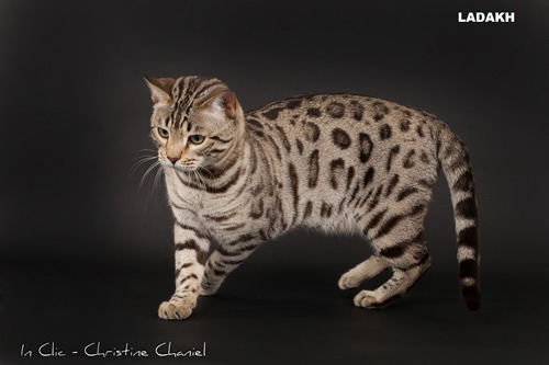 chat bengal snow