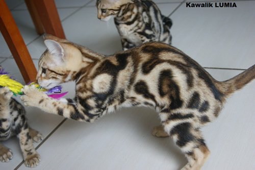 femelle bengal brown  marble tricolore