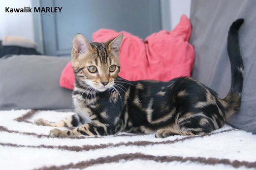 male bengal marble