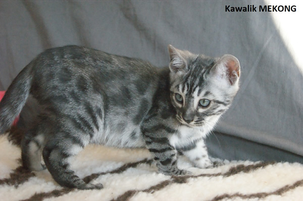 BENGAL SILVER CHARCOAL
