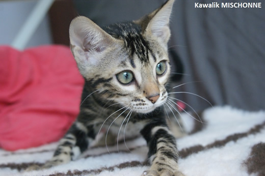 CHATON BENGAL MARBLE SHEETED