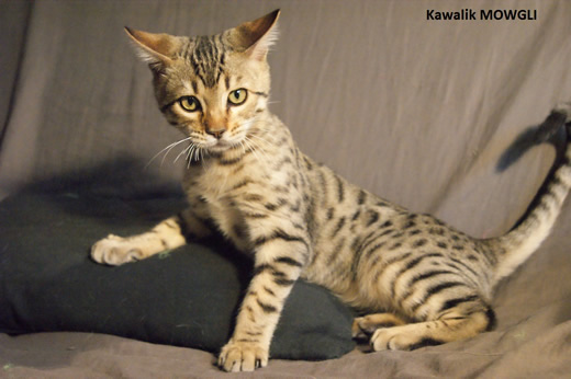 chaton bengal brown spotted