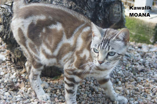 chatte bengal snow marble