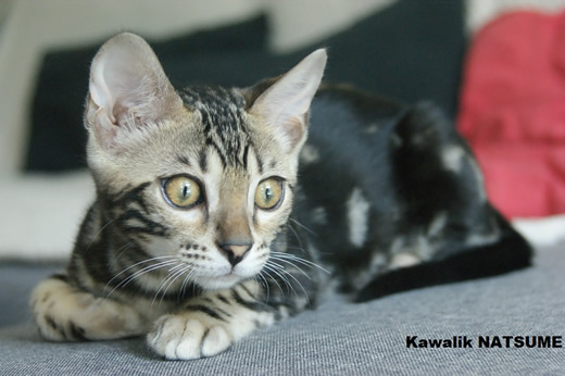 chaton bengal marble