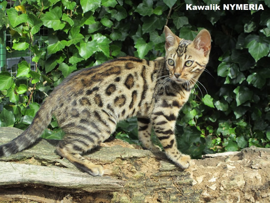 CHATTE BENGAL