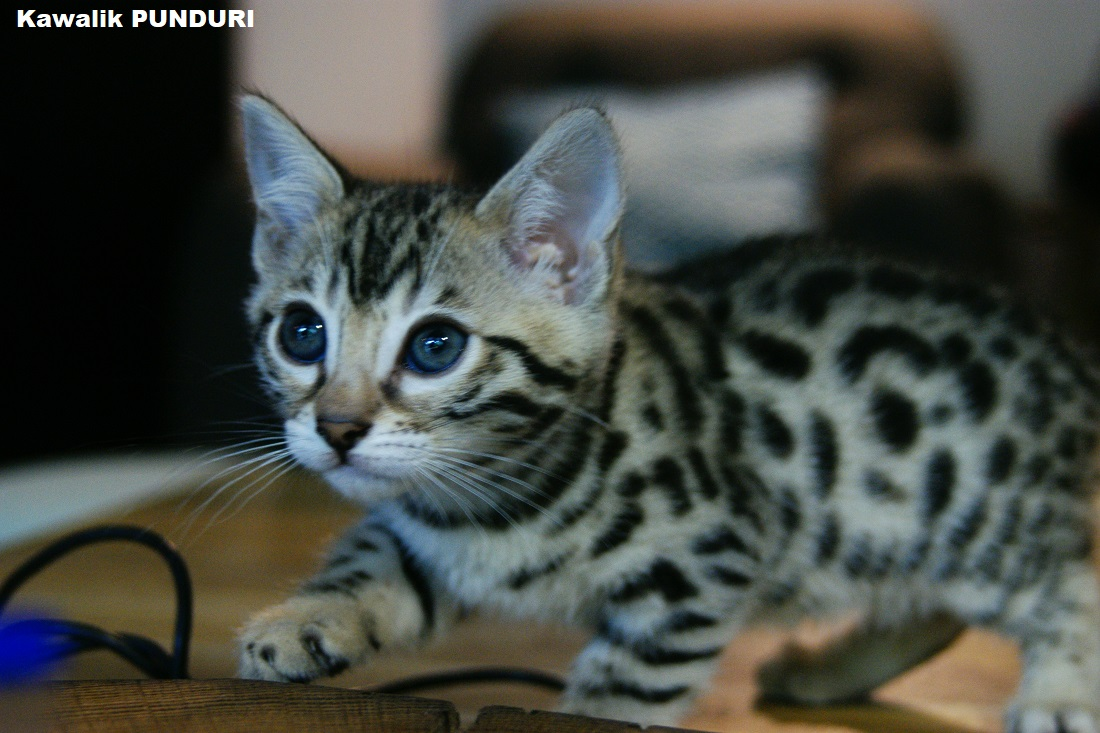 chaton bengal spotted