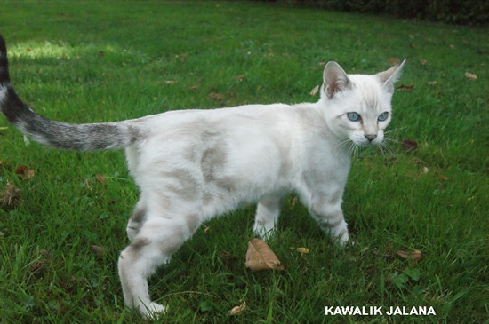 chat bengal snow marble