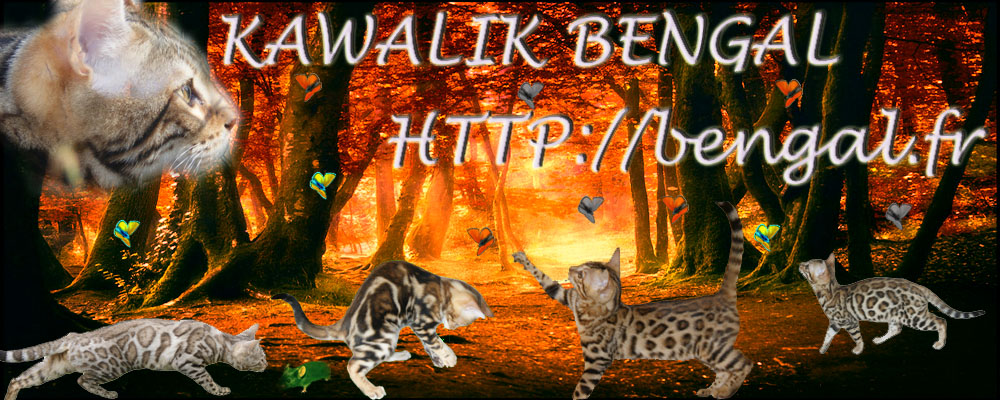 About us, bengal cattery, Cattery Kawalik bengals
