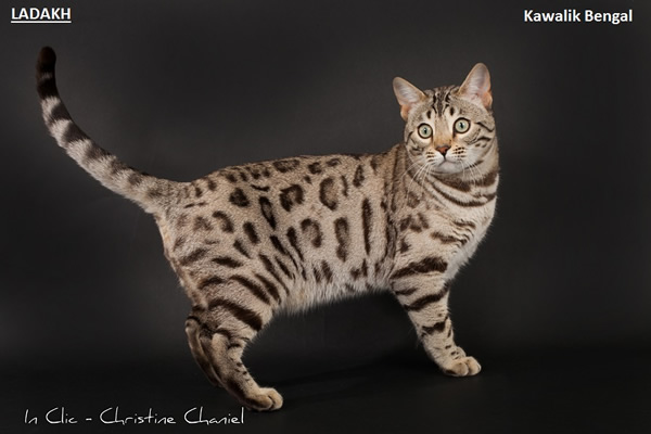 chat bengal snow a rosettes