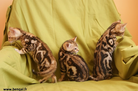 bengal marble