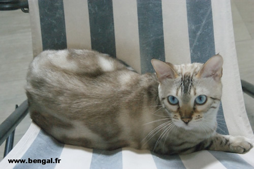 chatte bengal adulte