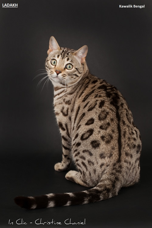 male bengal snow sepia spotted