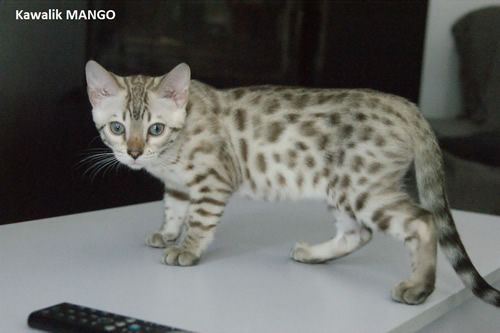 male bengal snow mink spotted