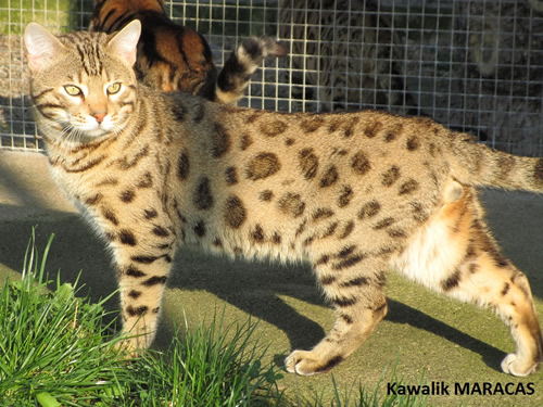 CHAT BENGAL BROWN SPOTTED