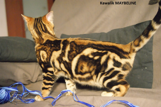 chaton bengal brown marbre
