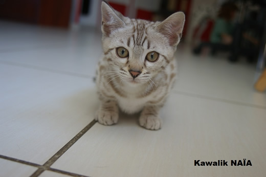 chaton bengal snow
