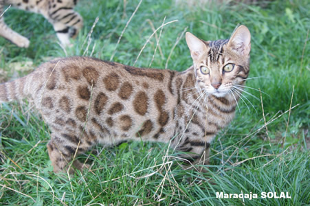 bengal brown rosetted