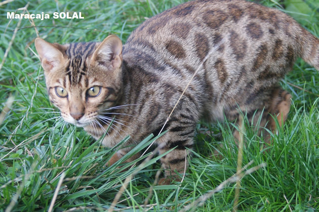 male bengal brown