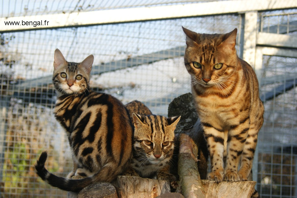 leopard cat cattery