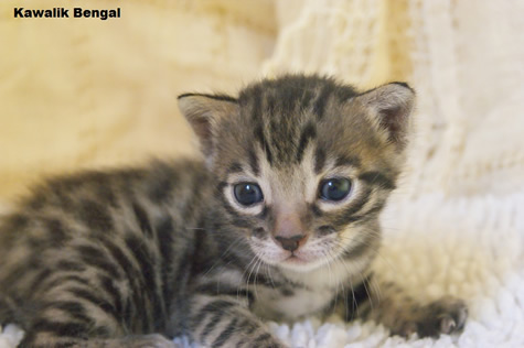 chaton bengal brown