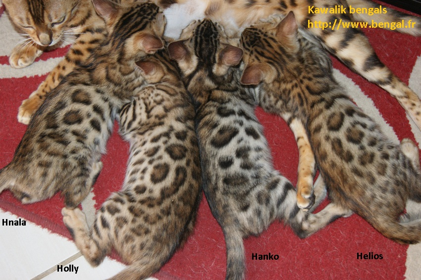 chaton bengal brown rosetted
