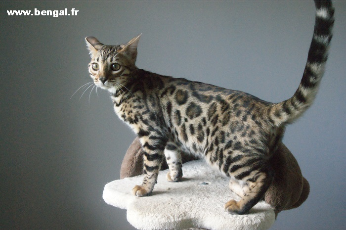 chatte bengal brown à rosettes